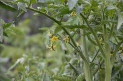 开花的蕃茄黄色花准备好授粉自温室 蕃茄花在词根的 库存图片