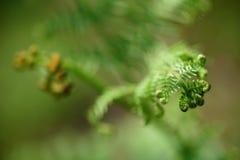 开花的蕨-可以2016年 图库摄影