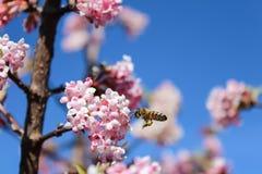 开花的蜜蜂飞行 免版税库存照片