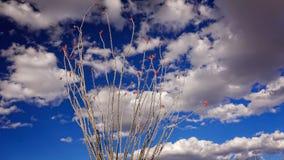开花的蜡烛木仙人掌、天空和云彩在大弯全国P 库存图片