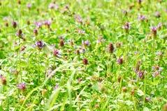 开花的蝴蝶三叶草草甸 库存图片