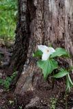 开花的被守卫的大结构树延龄草 免版税库存照片