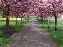 开花的被排行的路径粉红色结构树 免版税库存照片