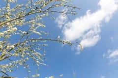 开花的装饰李子分支和天空蔚蓝与白色云彩 库存图片