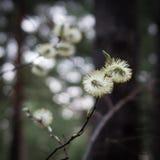 开花的褪色柳柳属在森林 库存照片