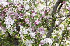 开花的西伯利亚苹果计算机树 免版税库存图片