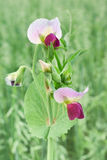 开花的豌豆 免版税库存照片