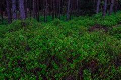 开花的越桔灌木在森林背景中 免版税库存图片