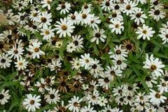 开花的进展的白花背景 图库摄影
