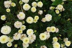 开花的进展的白花背景 免版税库存图片