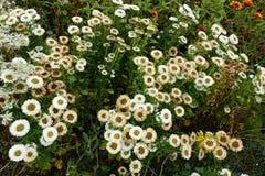 开花的进展的白花背景 免版税库存照片