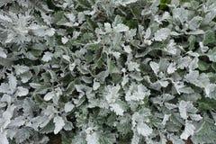 开花的进展的白花背景 库存图片