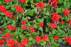 开花的进展的红色开花背景 免版税图库摄影