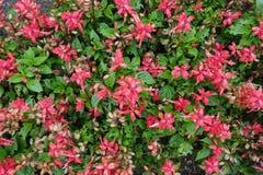 开花的进展的红色开花背景 库存图片