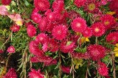 开花的进展的红色开花背景 免版税库存照片