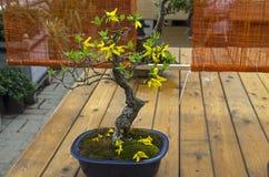 开花的连翘属植物-仿照`平直和自由`样式的盆景 免版税库存图片