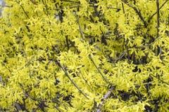 开花的连翘属植物 黄色火焰灌木  免版税库存照片