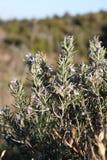 开花的迷迭香在夏天 免版税库存图片