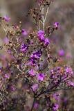 开花的迷迭香,喇叭茶,拉布拉多茶 图库摄影