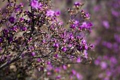 开花的迷迭香,喇叭茶,拉布拉多茶 免版税库存图片