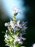 开花的迷迭香 库存照片