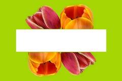 开花的郁金香开花框架 库存照片