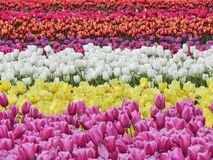 开花的郁金香的美好的领域 免版税库存图片