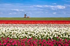 开花的郁金香花和荷兰风车 免版税库存图片