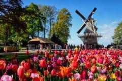 开花的郁金香花圃和风车在库肯霍夫花加尔德角 图库摄影