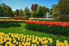 开花的郁金香花圃在Keukenhof花园, Netherland里 免版税图库摄影