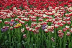 开花的郁金香领域在春天 库存图片