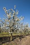 开花的酸樱桃果树园树 免版税库存图片