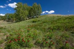 开花的野生狭窄有叶的牡丹 免版税库存图片