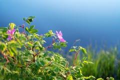 开花的野生玫瑰丛或狗玫瑰、罗莎canina与天空和树反射 库存图片