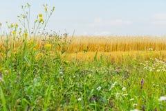 开花的野花和杂色的草在晴朗的夏日,生长沿黑麦领域路旁  农村背景 免版税库存图片