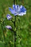 开花的野花苦苣生茯 免版税库存照片