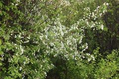 开花的野苹果树 免版税库存图片