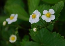 开花的野草莓 免版税库存图片