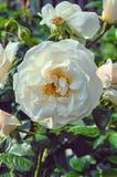 开花的野蔷薇,在分支的芽 库存照片