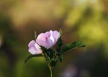 开花的野蔷薇 免版税图库摄影