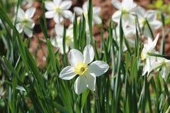 开花的野鸡黄水仙-水仙poeticus花,选择聚焦 库存图片