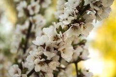 开花的野黑樱桃在春天庭院里 库存图片