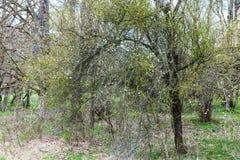 开花的金合欢树在春天 免版税库存照片