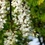开花的金合欢白葡萄 库存图片