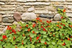 开花的金莲花对一个古老石墙 免版税库存照片