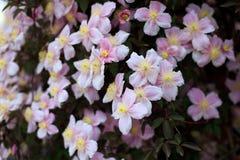 开花的铁线莲属 库存图片