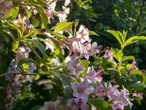 开花的锦带花hybrida Rosea豪华灌木  反对天空和一个常绿植物的白色和桃红色花 免版税库存图片