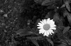 开花的雏菊 北京,中国黑白照片 库存照片