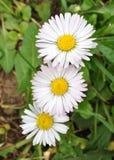 开花的雏菊 库存照片
