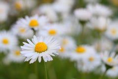 开花的雏菊 免版税库存照片